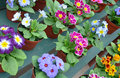 Colorful pots of primroses Stock Photography