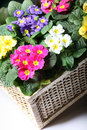 Colorful primroses in the basket Stock Photos