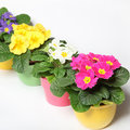 Colorful primroses in a row Stock Image