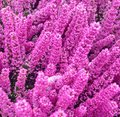 Colorful purple Erica Calluna flowers Royalty Free Stock Photo
