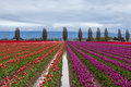 Colorful purple and red tulip field in spring us Royalty Free Stock Photo