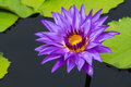 Colorful purple water lilly Royalty Free Stock Photo