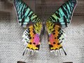 Colorful rainbow butterfly wings in a case Royalty Free Stock Photo
