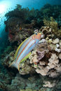 Colorful Rainbow wrasse on a tropical coral reef.
