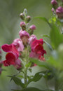 Colorful red snapdragon or antirrhinum flower just starting to open on the spike growing outdoors in a flowerbed in the garden Royalty Free Stock Photography