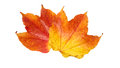 Colorful red yellow autumn fall leaves isolated on white Royalty Free Stock Photo