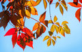 Colorful red and yellow autumn leaves in sunlight above blue sky Royalty Free Stock Photo