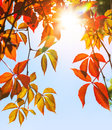 Colorful red and yellow autumn leaves in the sunshine with flare Stock Photo