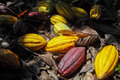 Colorful ripe cacao fruits on the ground among dry leaves in a plantation in sulawesi indonesia Royalty Free Stock Image
