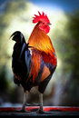 Colorful rooster close up of a key west monroe county florida usa Royalty Free Stock Images