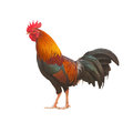 Colorful Rooster isolated Royalty Free Stock Photo
