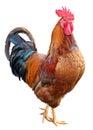 Polla en blanco