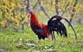 Colorful rooster living in peace at country side romania Royalty Free Stock Photography