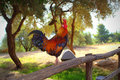 Colorful rooster living peacefully in faneromeni monastery courtyard lefkada island greece Royalty Free Stock Images
