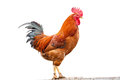 Colorful rooster on white background the Royalty Free Stock Photos