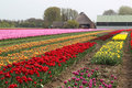 Colorful rows of tulips on a tulip field in Friesl Royalty Free Stock Images