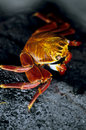 Colorful Sally Lightfoot Crab - Galapagos Island Stock Image