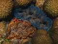 Colorful scaly giant clam live Stock Photography