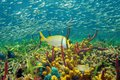 Colorful sea life underwater with shoal of fish sponges coral and caribbean Royalty Free Stock Photography