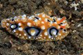 Colorful sea slug phyllidia ocellata on the floor Stock Images
