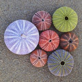 Colorful sea urchins on wet sand beach variety of Stock Photos