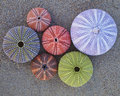 Colorful sea urchins on wet sand beach variety of Stock Image