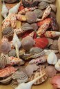 Colorful Seashells - Nautilus