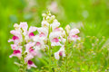 Colorful snapdragon flower in wild Royalty Free Stock Photo