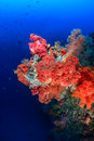 Colorful soft corals on a deep water reef pink and orange coral wall Stock Image