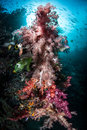 Colorful soft corals vibrant dendronephthya sp thrive on a reef in raja ampat indonesia the islands of raja ampat are within the Royalty Free Stock Photo