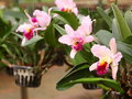 Colorful soft large pink purple orchid flower in large farm factory, plant nursery Royalty Free Stock Photo