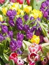 Colorful spring flowers tulips in various colors Royalty Free Stock Photos