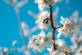 Cherry blossoms, flowers, spring, summer, scent, trees, beauty, dramatic views, nature, bud, juicy, colorful, unusual,