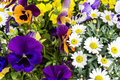 Colorful spring summer season flowers in garden with violets daisies and other greenery bright fresh nature park and outdoor