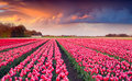 Colorful spring sunrise on the tulip farm near the creil town beautiful outdoor scenery in netherlands europe Stock Photography
