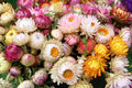 Colorful straw flower everlasting for life Stock Photos