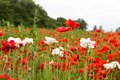 Colorful summer field with red poppies and white flowers Royalty Free Stock Photo