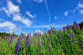 Colorful summer meadow mountains a with many lupins as background Stock Photos
