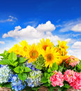 Colorful sunflowers and hortensia blossoms Stock Photo