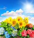 Colorful sunflowers and hortensia blossoms Royalty Free Stock Photo