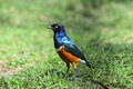 Colorful superb starling lamprotornis superbus kenya africa Stock Photos