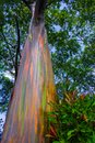 Rainbow Eucalyptus Tree Hana Maui Hawaii Royalty Free Stock Photo