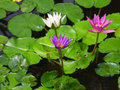 Colorful Three water lily lotus flower Royalty Free Stock Image