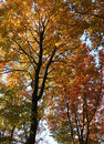 Colorful treetops low angle shot of sunny illuminated at autumn time Royalty Free Stock Images