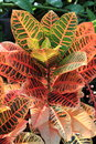 Colorful tropical croton plant in spring Stock Images