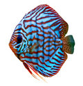 Colorful tropical discus fish Stock Photos