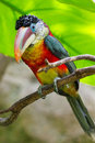 Colorful tropical rainforest bird close up Stock Photo