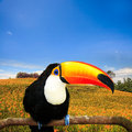 Colorful tucan in the aviary for adv or others purose use Stock Image