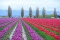 Colorful tulip farm in washington Royalty Free Stock Image