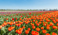 Colorful Tulip field in springtime